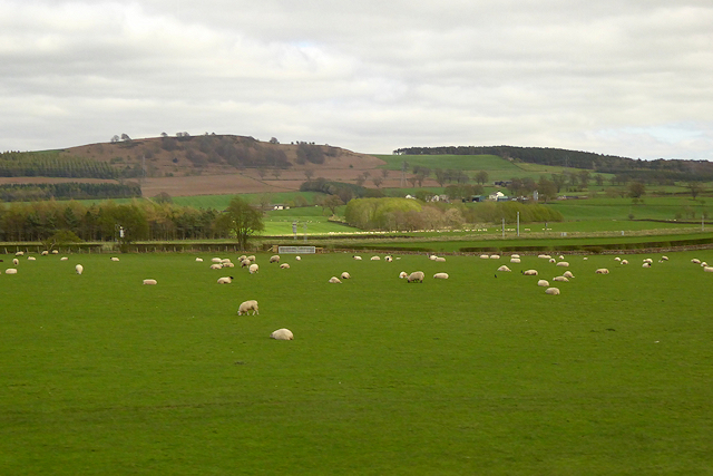 Sheep Grazing near the M6