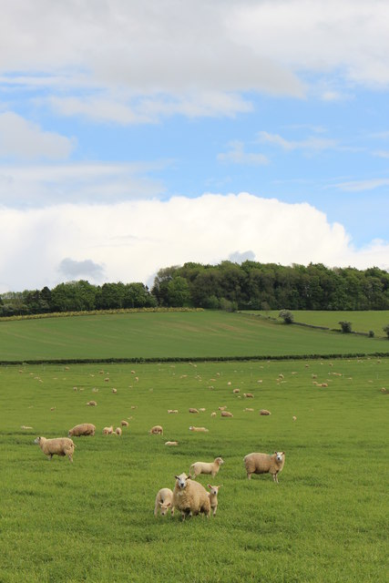 Sheep grazing near Charlton Abbots