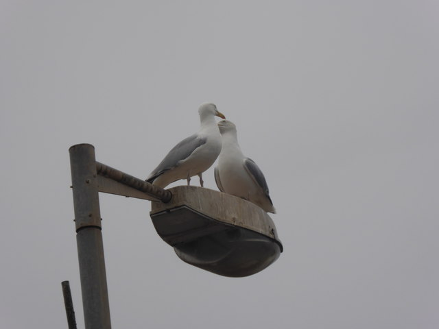 A pair of Herring Gulls sharing a quayside lamp-post