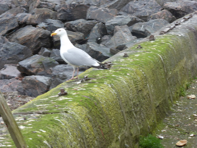 An adult Herring Gull, Gourdon Harbour wall