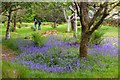 NG9238 : Bluebells, Attadale Gardens by Jim Barton