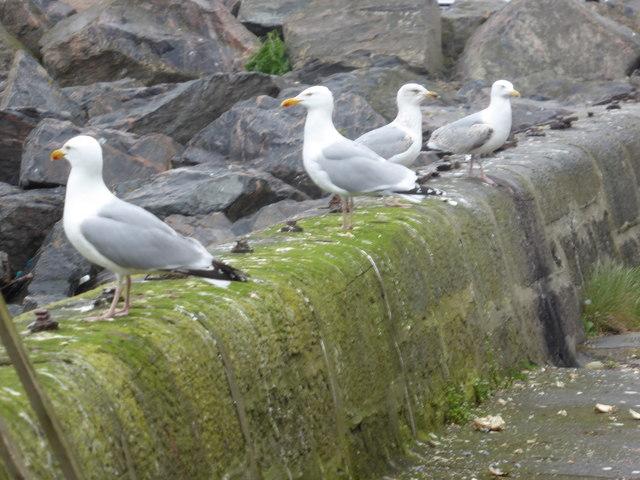 Herring Gulls (Larus argentatus)