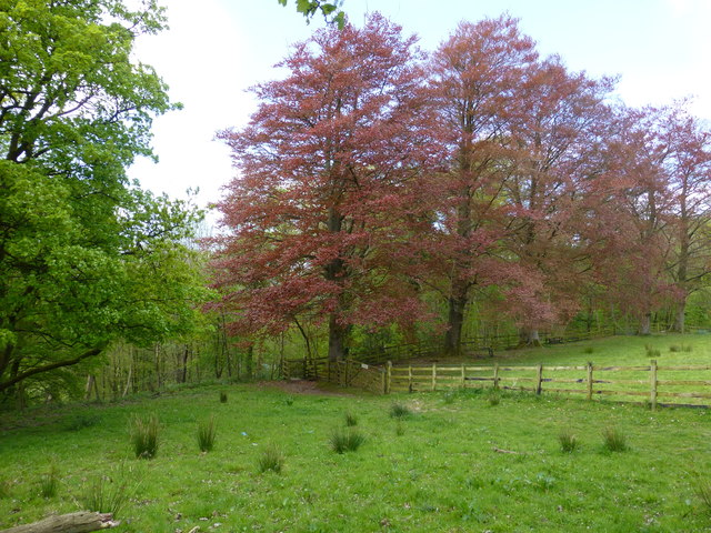 A line of Copper Beeches at Whitewell