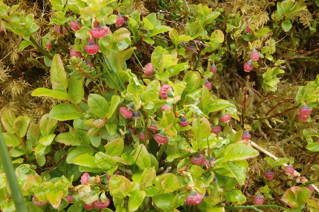 Bilberry Flowers