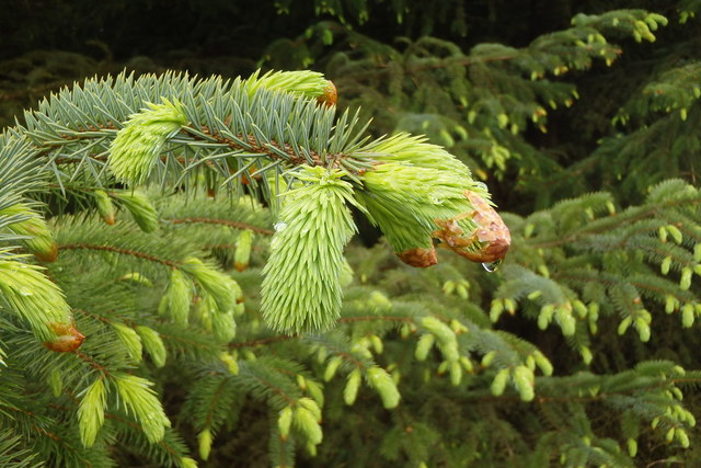 Dripping Spruce Bud