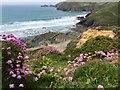 SM8422 : Sea Thrift on Clifftop by Alan Hughes