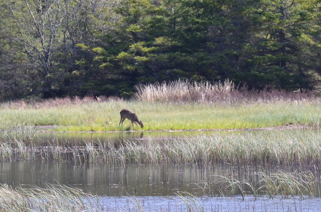 Deer grazing by Loch Moraig