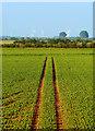 TA1626 : Field of Peas : Week 21