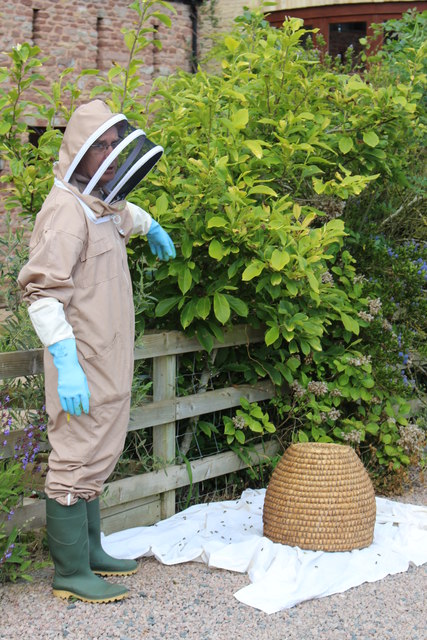 Collecting an unwanted bee swarm at Swallow Barn