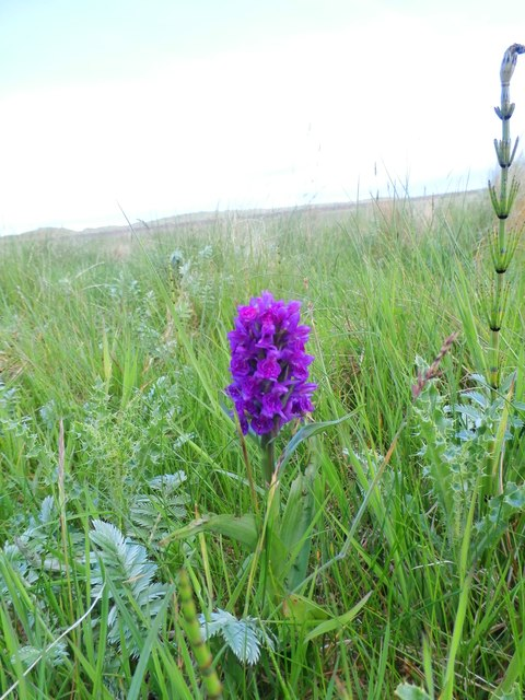 Northern Marsh Orchid (Dactylorhiza purpurella)
