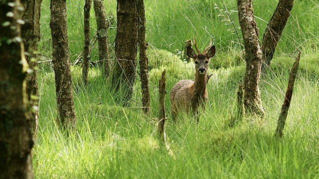 Deer in Foresthow Wood