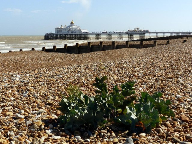 Sea Kale with Eastbourne Pier on the skyline