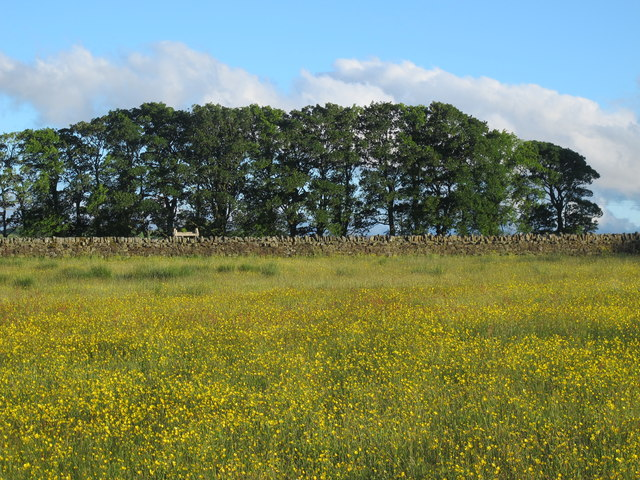 Buttercup meadow and copse above Prospect Hill