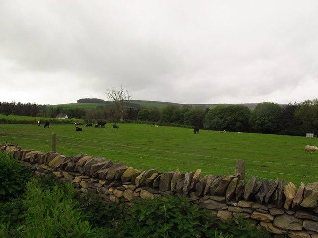 Cattle at Pen Lan