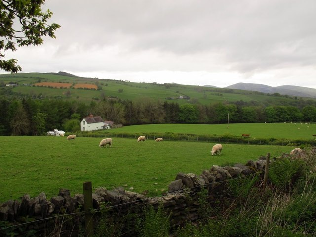 Sheep grazing above Pen Lan Cottage