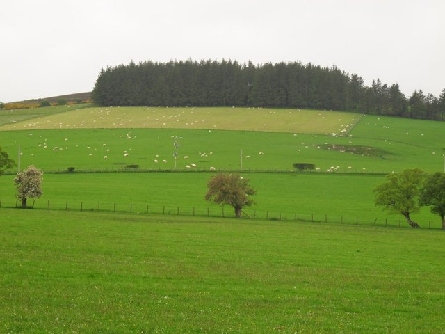 Sheep grazing on the eastern slopes of Y Foel