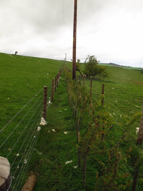New hedge along a field boundary