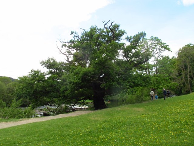 Oak tree by the Horseshoe Falls