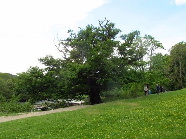Oak tree by the Horseshoe Falls