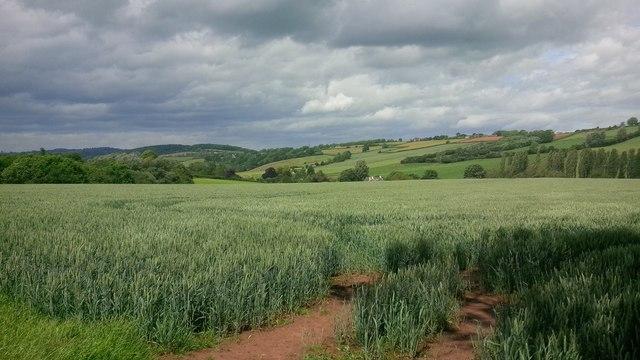 Field of wheat near Haygrove