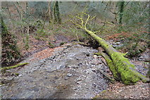 SX4961 : Fallen tree and stream, Widewell Wood by N Chadwick