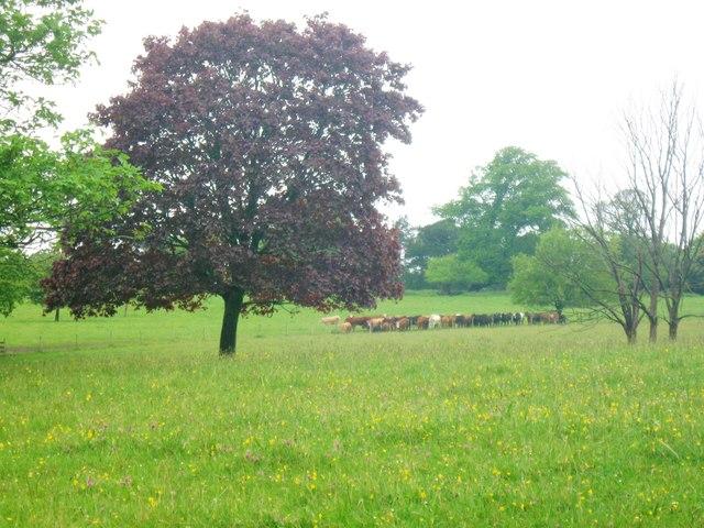 Cattle on the Saltram Estate, Plympton, Devon