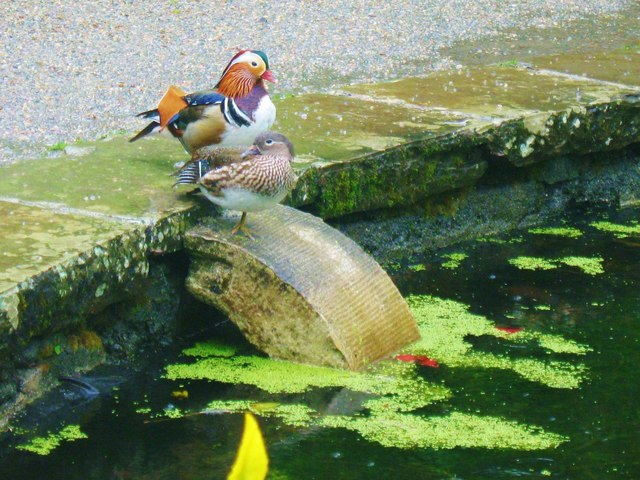 Mandarin Ducks at Saltram House, Devon
