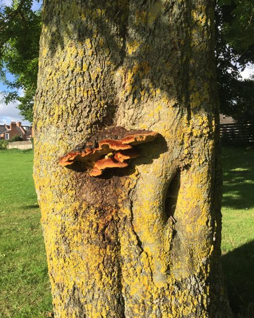 Bracket fungus on an ash tree, St Nicholas Park, Warwick