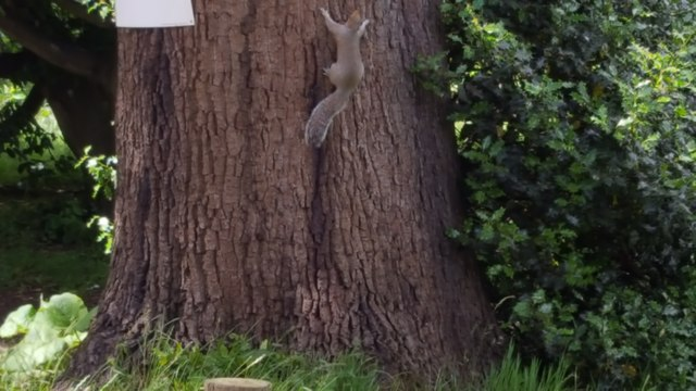 Squirrel in Trent Park, London N14