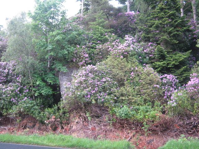 Roadside Rhododendron