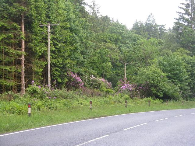 Forest in Strath Eachaig