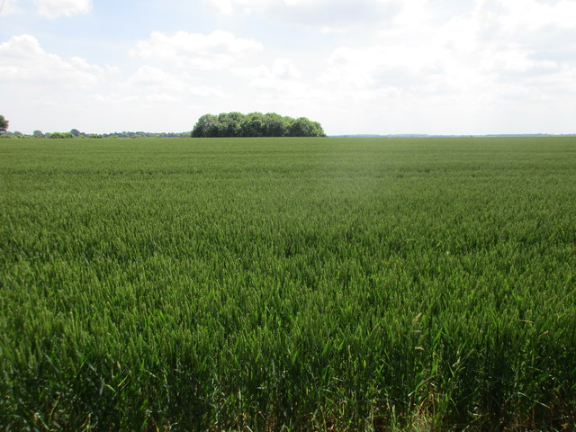 Wheat field and Fox Covert