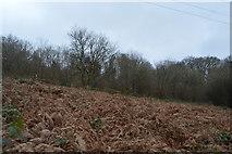 SX4861 : Bracken, Porsham Wood by N Chadwick
