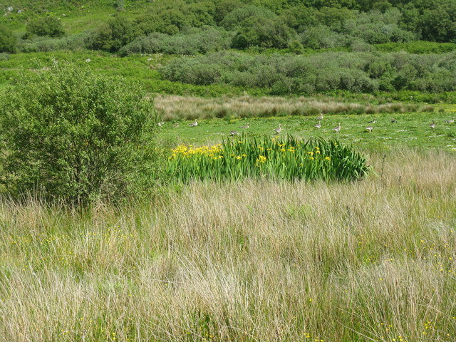 Yellow Iris and geese on Gigha