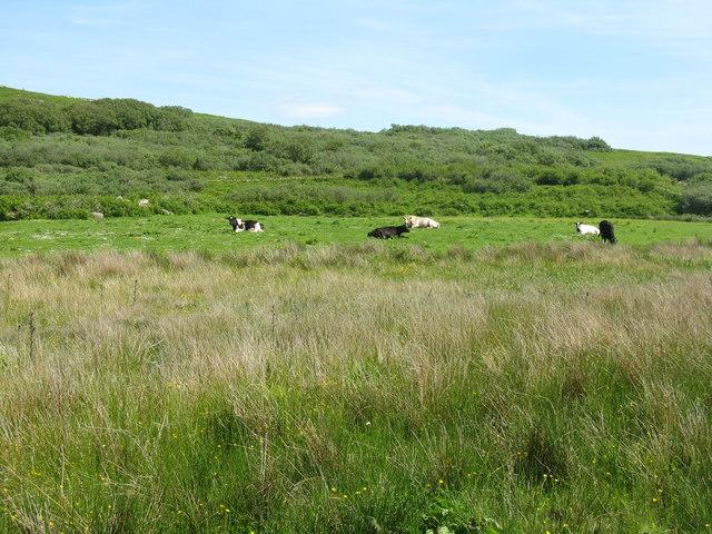 Resting cattle at Tarbert