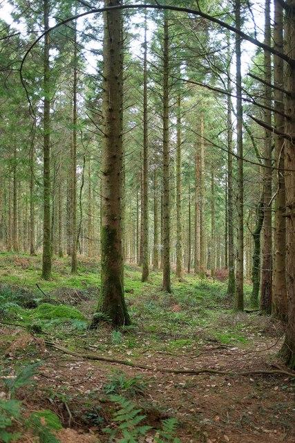 Coniferous woodland, Hustyn Wood