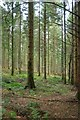 SW9968 : Coniferous woodland, Hustyn Wood by Derek Harper