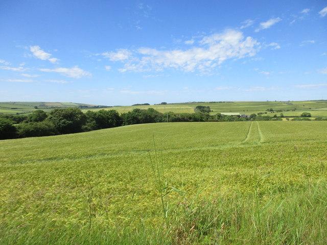 Barleyfield near Robert's Cove