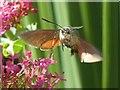 SW6031 : Hummingbird hawk-moth : Week 24
