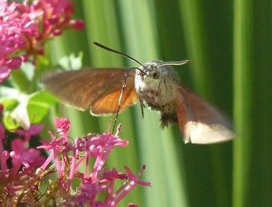 SW6031 : Hummingbird hawk-moth by Robin Drayton