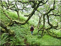 NR4096 : In the ancient oakwood above Eilean Olmsa III by Julian Paren