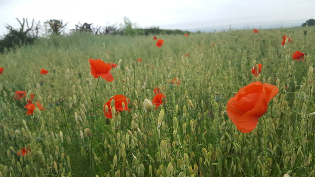 Poppies, Thornton le Dale, Yorkshire