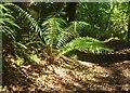 SX7168 : Fern, Burchetts Wood by Derek Harper