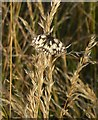 TQ1450 : Marbled White butterfly, Denbies hillside : Week 27
