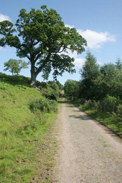 Oak beside the track