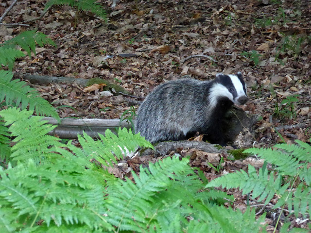 Badger, Cutlers Wood