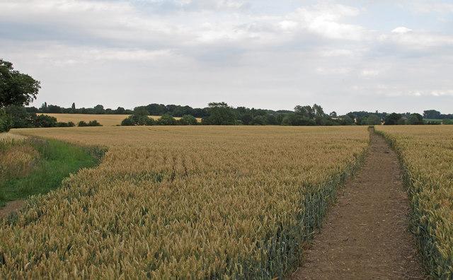 Footpath through Wheat Field, near Swanecks, Roxwell
