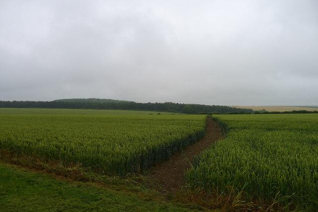 Footpath through wheat to Strifts Plantation