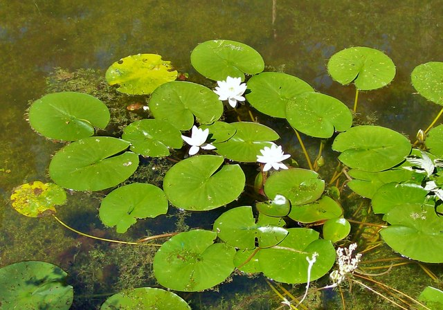 Water Lilies on the Basingstoke Canal