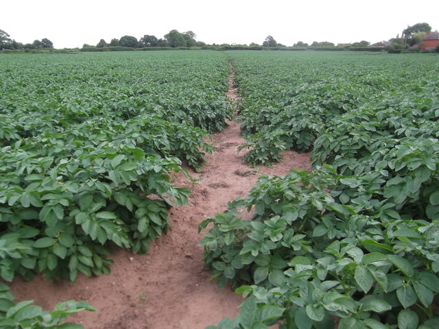 Footpath through the spuds